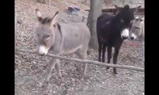 סרטון מצחיק של החמור הכי חכם באורווה