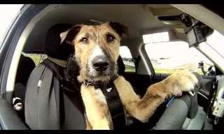 פורטר - הכלב שנוהג במכונית