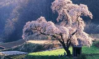 עצים יפניים ייחודיים ותפקידם בתרבות המקומית