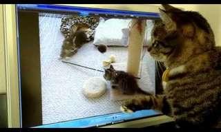 חתול מנסה לחפש גורים וירטואליים