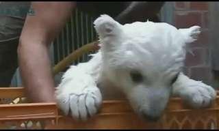 גור דובי קוטב לומד ללכת - מתוק!