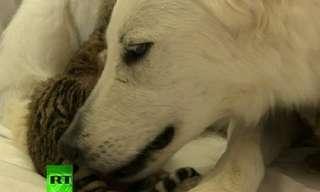 כלבה מאמצת גורי טיגריס