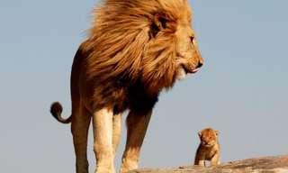 מלך האריות – המציאות עולה על כל דמיון