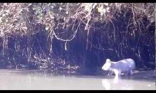 קואלה חברותי תופס טרמפ בנהר - מפתיע!