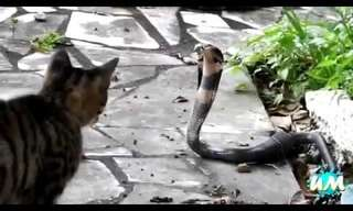 חתולים חסרי פחד - סרטון מדהים!