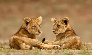 תמונות חזקות של מלך החיות!