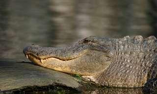 גם התנינים מצטרפים למהפכה הירוקה