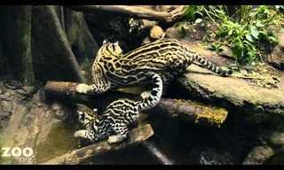 האוצלוט: נמר-חתול