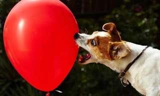 כלבים נגד בלונים - קרב איתנים!