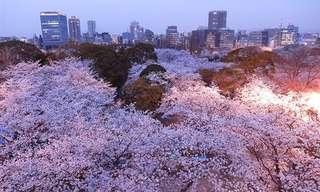 פריחת עצי הדובדבן ביפן