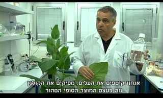 פיתוח ישראלי מאפשר הפקת קולגן מעלי טבק