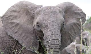 עובדות מרתקות ומפתיעות על פילים