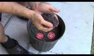 הדרך הקלה ביותר לגידול עגבניות בבית