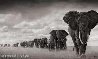 10 העובדות המעניינות ביותר על פילים