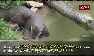 שיעור שחייה של גור לוטרה מתוק!