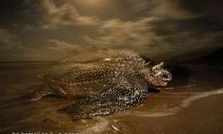 איך ילוד חדש  של צב ים גילדי חוזר לים - מדהים!