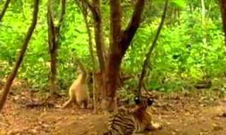 קוף עם משאלת מוות