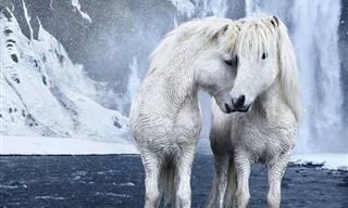 סדרת תמונות מרהיבות של סוסי הפרא באיסלנד