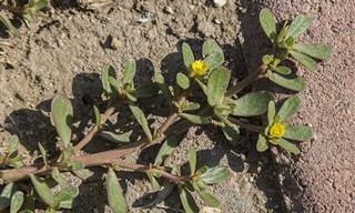 רגלת הגינה: 9 יתרונות בריאותיים שלה וכיצד לזהות אותה