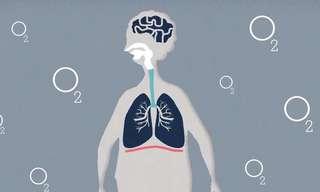 איך הריאות עובדות? הסבר פשוט על מערכת הנשימה