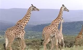סיור מודרך בשמורות הטבע של טנזניה עם דני קושמרו