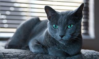 14 גזעי החתולים היפים ביותר בעולם