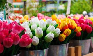 אביב בהולנד: פריחת הצבעונים שמושכת אליה עשרות אלפי תיירים