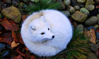 זני השועלים היפים בעולם
