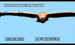העופות הדורסים של גמלא