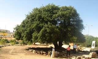 העצים המיוחדים והעתיקים במדינה