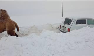 איך מחלצים מכונית מהשלג? בעזרת גמל כמובן!