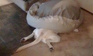 15 כלבים ששכחו איך להשתמש במיטה