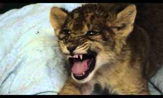 מפגש מדהים עם אריה!