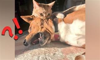 כלבים מצחיקים שמפחדים מחתולים – בואו לראות מי הבוס בבית!