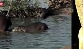 מי לדעתכם יותר חמוד - הפיל או ההיפו?