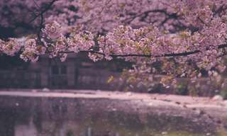 פריחת הדובדבן - אביב יפני במיטבו!