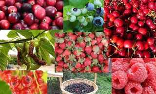 היתרונות הבריאותיים של פירות היער