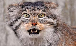 חתולי פאלאס - החתולים שהזמן שכח!