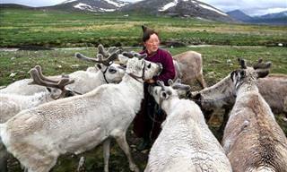 אנשי הטסאטאן - רועי האיילים האחרונים בעולם