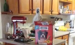 ציפור קקדו מאכילה 2 כלבי דני ענק - מחזה חמוד במיוחד
