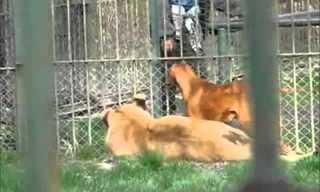 וגר אריה עם כלב