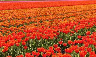 שדות הפרחים המרהיבים ביותר בעולם