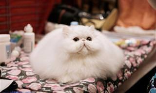 24 חתולים פרוותיים שלא זקוקים לסוודר אפילו בחורף