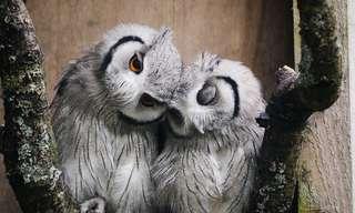 העופות הדורסים הכי חמודים שאי פעם ראיתם
