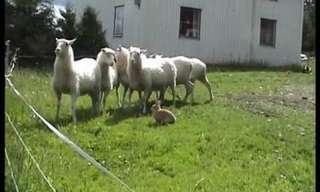צ`מפיס - ארנב הרועים משוודיה
