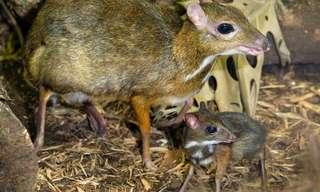 עכבר או צבי?