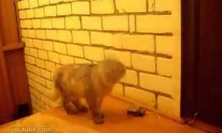 חתול אינטיליגנט למד לצלצל בפעמון