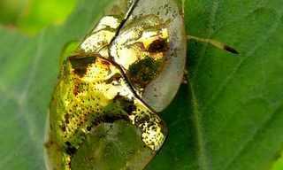 חיפושית הזהב מצפון אמריקה