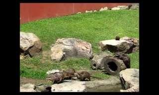חבורה של לוטרות מנסה לצוד פרפר
