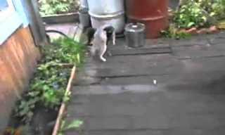 פינצ'ר עושה שק קמח לחתול - ענק!